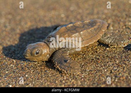 Green Turtle, Chelonia mydas, Mittelamerika, Costa Rica - Stockfoto