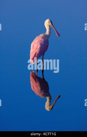 Rosalöffler (Platalea ajaja), Merritt Island National Wlidlife Zuflucht, Florida, USA - Stockfoto