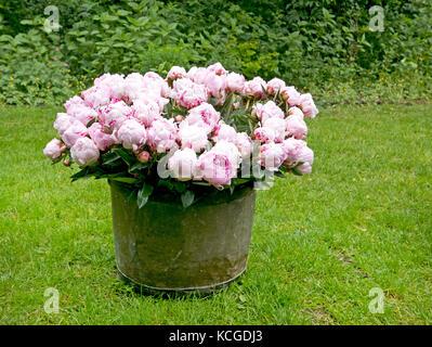 Pfingstrose Blumenstrauß in einem vintage Zinn bin im Garten - Stockfoto