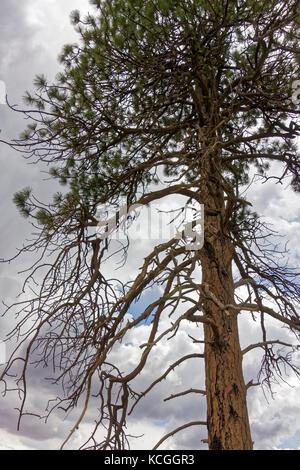 Ein verbrannter Baum im kaibab Wald. - Stockfoto