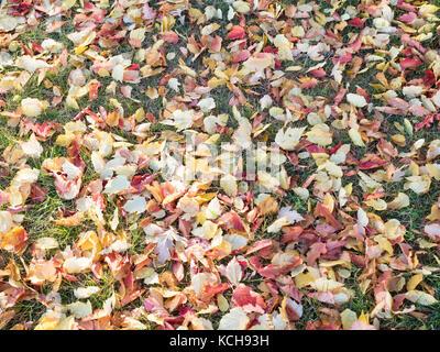 Gefallenen roten Ahornblätter Hintergrund, Edmonton, Alberta, Kanada - Stockfoto