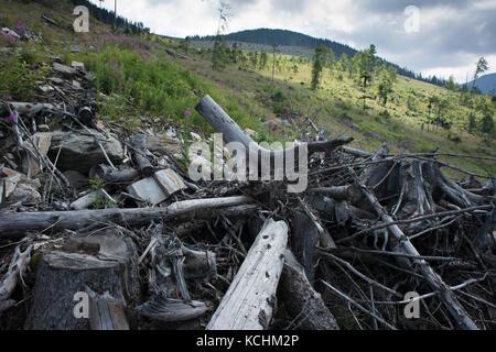 Fagaras-Gebirge Natura 2000-Gebiet / Rumänien: Riesenfreischnitt im Ucea Mare-Tal im Fagaras-Gebirge Natura 2000 - Stockfoto