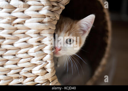 Cute ginger Kitten peeking aus einem Korbgeflecht pod - Stockfoto