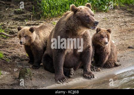 Mama Bär und zwei kleine Jungen Angeln am Fluss in der Wildnis - Stockfoto