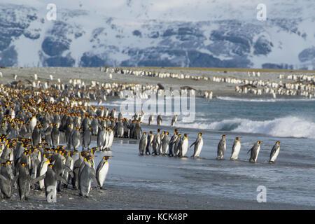 Große Kolonie der Königspinguine (Aptenodytes patagonicus) auf einem felsigen Strand auf South Georgia Island gesammelt. - Stockfoto