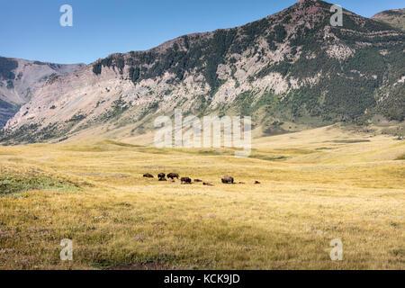 Plains Bisons (Bison bison Bison), Waterton Lakes National Park, Alberta, Kanada - Stockfoto