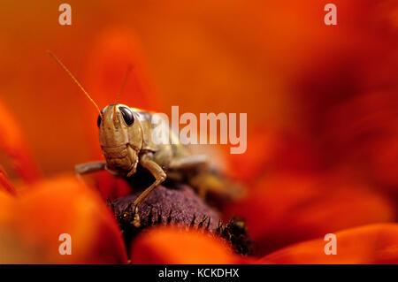 Grashüpfer, Melanoplus sp., auf rudbeckien Blumen, Warman, Saskatchewan, Kanada - Stockfoto