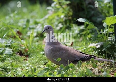 Eurasian collared Dove in das grüne Gras - Stockfoto