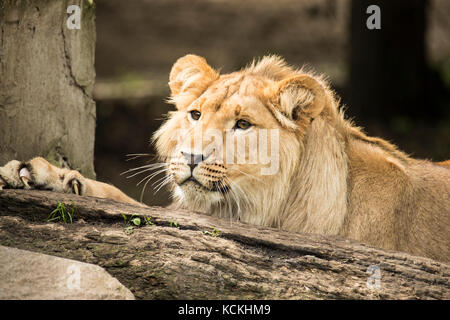 Porträt eines jungen männlichen Löwen Stockfoto