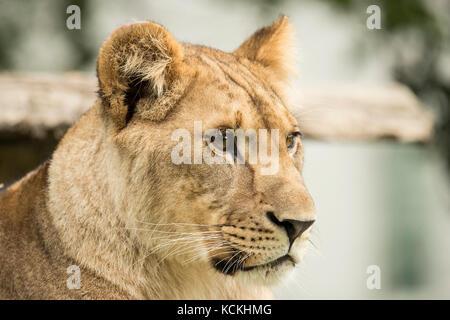Porträt einer Löwin, Nahaufnahme Stockfoto
