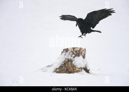 Kolkrabe im Flug mit Schnee und jede Menge Schnee in der winterlichen Umgebung. - Stockfoto