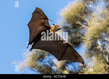 Grau - Flying Fox vorangegangen - Stockfoto
