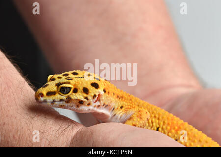 Ein Leopard Gecko (Eublepharis macularius) in einem Studio mit einem weißen Hintergrund gehalten wird. - Stockfoto