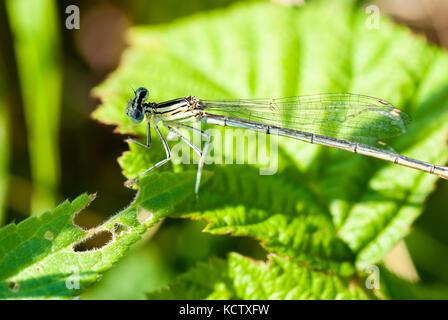Kleine Libelle sitzt auf einem grünen Blatt. closeup Shot mit selektiven Fokus. - Stockfoto