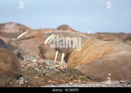 Männliche Walross (odobenus rosmarus) ruht auf einem Strand - Stockfoto