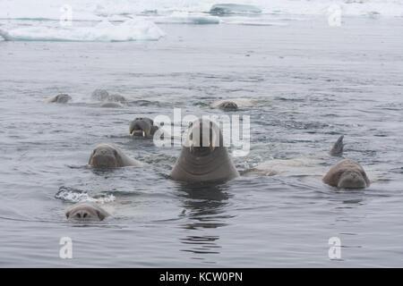 Gruppe von walross (odobenus rosmarus) Schwimmen - Stockfoto