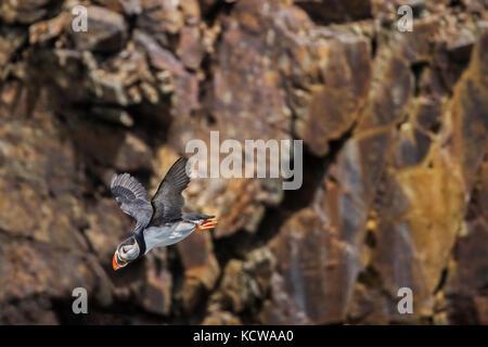 Papageitaucher (Fratercula arctica) im Flug über den Nordatlantik. Es ist der offizielle Vogel von Neufundland und - Stockfoto