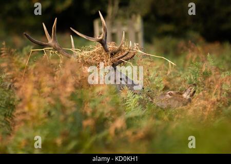 Bushy Park, London, UK. 8. Oktober, 2017. Red deer Hirsch (Cervus elaphus) mit Bracken in seinem Geweih, findet - Stockfoto