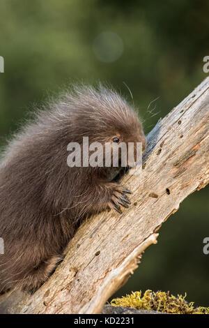 Baby gemeinsame Porcupine (porcupette oder pup) Klettern einen toten Baum in der Nähe von Bozeman, Montana, USA. - Stockfoto