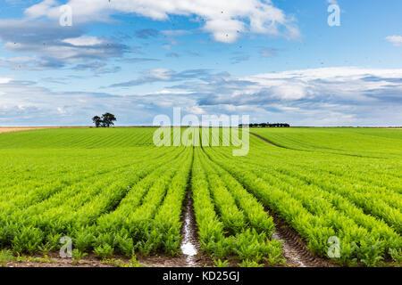 Bohrer von Karotten auf küstenebenen an der Ostküste von Schottland gepflanzt. - Stockfoto
