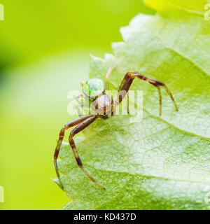 Misumena vatia Goldrute crab Spider männliches Insekt auf grünes Blatt - Stockfoto
