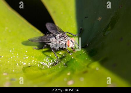 Stubenfliege auf einem Blatt - Stockfoto