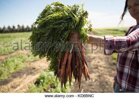 Frau Bauer Ernte Bündel Karotten an sonnigen Hof - Stockfoto