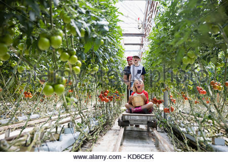 tomaten auf pflanzen in einem gew chshaus stockfoto bild 18405941 alamy. Black Bedroom Furniture Sets. Home Design Ideas