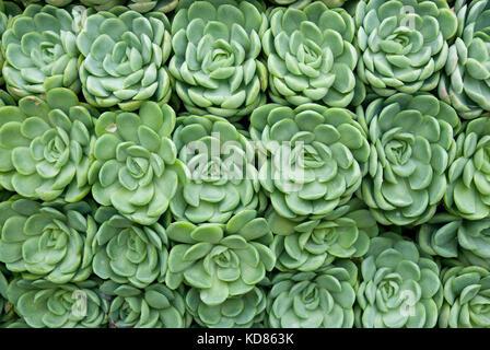 Sukkulenten in den Reihen der Grünen Rosetten bilden ein abstraktes Muster - Stockfoto