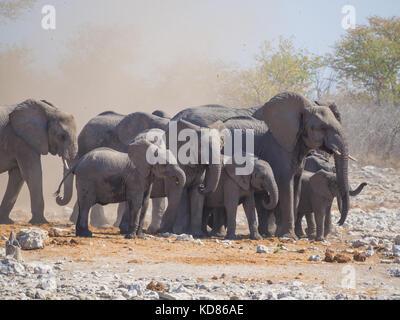 Gruppe oder Familie der Afrikanischen Elefanten, die durch Staub von kleinen Tornado umgeben, Etosha National Park, - Stockfoto