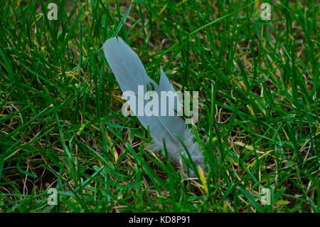 Ringeltaube Feder Silber und Grau mit Hauch von Blau auf Grün Gras scharf als Makro Foto - Stockfoto