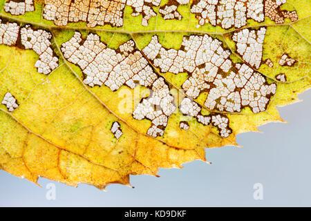Jahreszeiten ändert Konzept. Bunte Herbst Aspen Leaf Skelett Strukturmuster Makro anzeigen. Grün Gelb Braun, transparente - Stockfoto