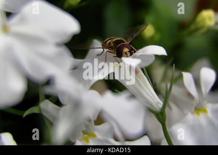 Hoverfly auf weiße Blume - Stockfoto