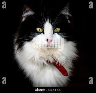 Rag Doll lange Haare Katze mit grünen Augen und lange Schnurrhaare mit dunklen schwarzen Hintergrund. - Stockfoto