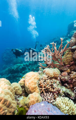 Die korallenformationen Taucher Erkunden von Agincourt Reef, Great Barrier Reef Marine Park, Port Douglas, Queensland, - Stockfoto