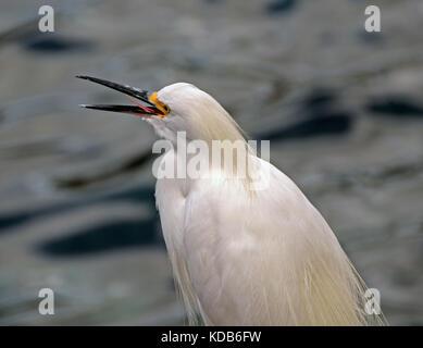 Snowy Egret (Egretta thula) Tätigen eines Anrufs - Stockfoto