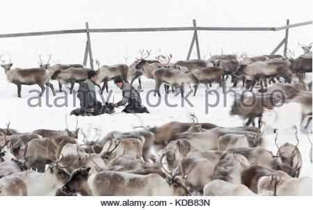 Sami rentier Hirten mark Rentier Kälber in einem eingezäunten Bereich. - Stockfoto