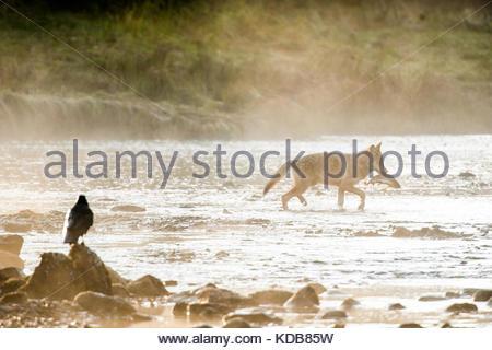 Ein Rabe Uhren eine junge Küste Wolf, Canis lupus, Angeln für Pink Lachs, Oncorhynchus gorbuscha, am frühen Morgen. - Stockfoto