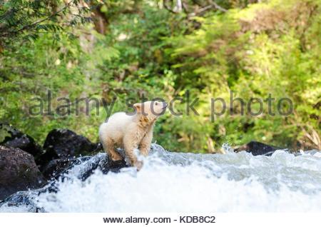 Ein Geist Bärenjunges, Ursus americanus kermodei, versucht einen rauschenden Bach zu überqueren. - Stockfoto