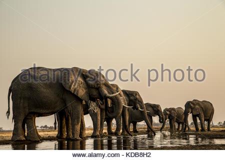 Eine Herde von Elefanten, Loxodonta africana, trinken aus einem Abflußkanal. - Stockfoto