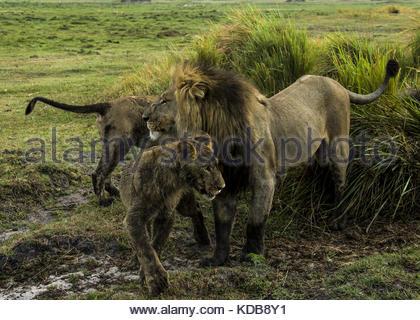 Junge männliche Löwen, Panthera leo, um hängen mit einem älteren Mann. - Stockfoto