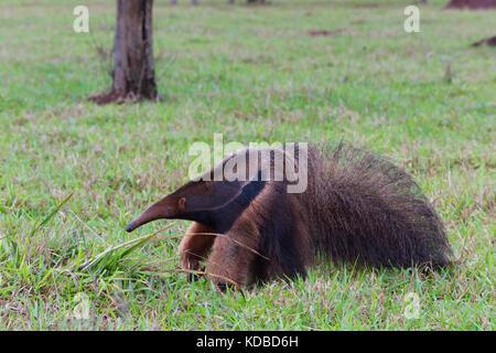 Großer Ameisenbär (Myrmecophaga Tridactyla), Mato Grosso, Brasilien - Stockfoto