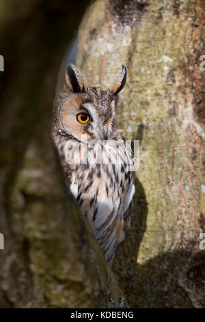 Lange Eared Eule; ASIO Otus Single im Baum UK - Stockfoto