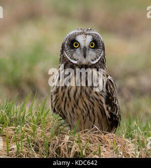 Kurze Eared Owl - Stockfoto