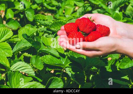 Frisch gepflückt Lecker Erdbeeren in den Händen über Erdbeerpflanzen gehalten