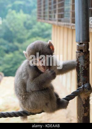 Nahaufnahme einer macaque Affen an der Iwatayama Monkey Park an Arashiyam in Kyoto, Japan