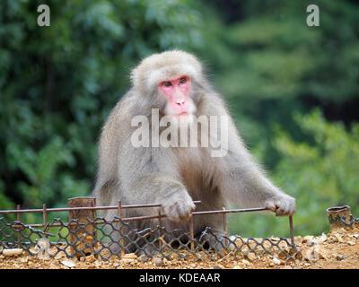 Nahaufnahme einer macaque Affen an der Iwatayama Monkey Park an Arashiyam in Kyoto, Japan - Stockfoto