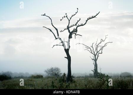 Gelbstirn-blatthühnchen starling (creatophora cinerea) Herde, in Bäume im Morgennebel gehockt, Krüger Nationalpark, - Stockfoto