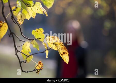 Gelbe Blätter in Elm Park im Herbst - Stockfoto