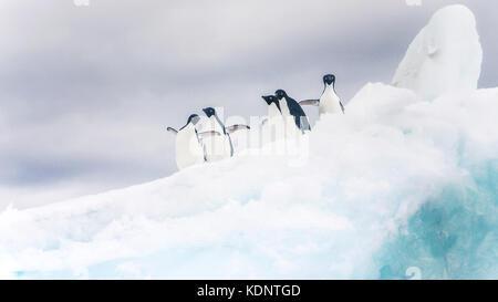Fünf Adelie Pinguine suchen spielerisch auf einem Eisberg in der Antarktis. - Stockfoto